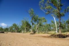 Australische Eucalyptus royalty-vrije stock afbeelding
