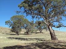 Australische Eukalyptus-Landschaft Stockfotografie