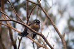 Australische Fantail in een boom Stock Afbeeldingen