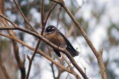 Australische Fantail in een boom Royalty-vrije Stock Fotografie