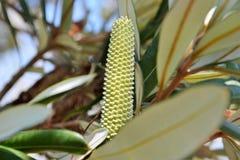Australische Flora stock foto