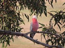 Australische Galah in een gomboom Stock Foto's