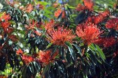 Australische gebürtige Baum Waratah-Blumen lizenzfreie stockfotos