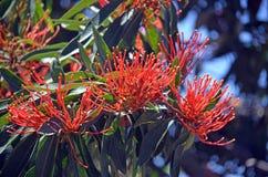 Australische gebürtige Baum Waratah-Blumen stockbild