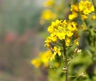 Australische gebürtige Bienen auf organisches boc choy Blume Stockfotos