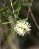 Australische gebürtige Bottlebrush-Blume, cremefarben Stockbilder