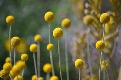 Australische gebürtige gelbe Billy Button-Blumen lizenzfreie stockfotos