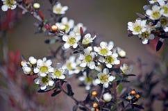 Australische gebürtige gelbe Teebaumblumen stockbild