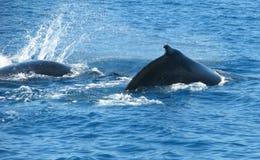 Australische Gebocheldewalvissen Stock Afbeeldingen