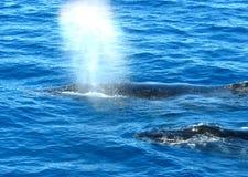 Australische Gebocheldewalvissen Royalty-vrije Stock Afbeelding