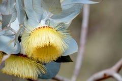 Australische gelbe Blume in voller Blüte Stockfotografie