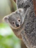 Australische gemeenschappelijke koalababy Royalty-vrije Stock Fotografie