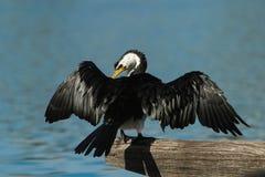 Australischer gescheckter Kormoran mit verbreiteten Flügeln Stockfotografie