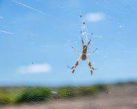 Australische goldene Kugel-Spinne Stockbilder