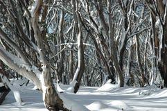 Australische gombomen in de sneeuw Royalty-vrije Stock Foto