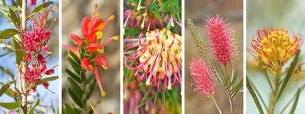 Australische Grevillea-Panoramabanner royalty-vrije stock foto's