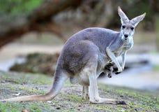 Australische grijze kangoeroebaby of joey in zak Stock Foto