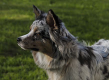 Australische Herder Royalty-vrije Stock Foto