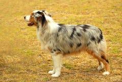 Australische Herder Royalty-vrije Stock Afbeeldingen