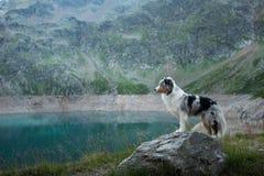 Australische Herder in aard door het meer Het reizen met een hond in de bergen Huisdierenavontuur royalty-vrije stock foto