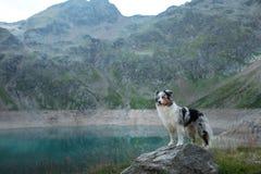 Australische Herder in aard door het meer Het reizen met een hond in de bergen Huisdierenavontuur stock afbeelding