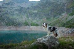 Australische Herder in aard door het meer Het reizen met een hond in de bergen Huisdierenavontuur stock foto's