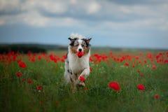 Australische Herder op een gebied van papavers Hond het spelen in de bloemweide royalty-vrije stock afbeelding