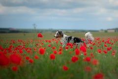 Australische Herder op een gebied van papavers Hond het spelen in de bloemweide royalty-vrije stock afbeeldingen