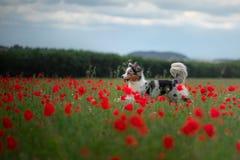 Australische Herder op een gebied van papavers Hond het spelen in de bloemweide stock fotografie
