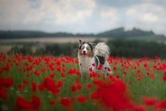 Australische Herder op een gebied van papavers Hond het spelen in de bloemweide stock afbeelding