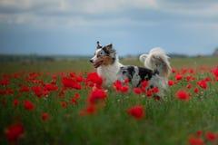 Australische Herder op een gebied van papavers Hond het spelen in de bloemweide stock foto's