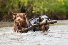 Australische Herder twee die in water zwemmen Royalty-vrije Stock Afbeeldingen
