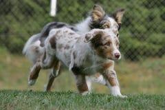 Australische herdershond Stock Fotografie