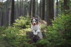 Australische Herdershond in het boshuisdier voor een gang royalty-vrije stock afbeelding