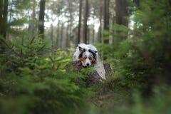 Australische Herdershond in het boshuisdier voor een gang stock afbeeldingen