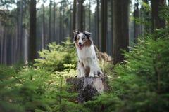 Australische Herdershond in het boshuisdier voor een gang stock foto's