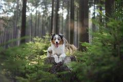 Australische Herdershond in het boshuisdier voor een gang stock foto