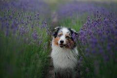 Australische Herdershond op het gebied van Lavendel stock foto's