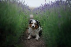 Australische Herdershond op het gebied van Lavendel stock afbeeldingen