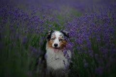 Australische Herdershond op het gebied van Lavendel stock afbeelding