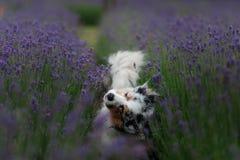 Australische Herdershond op het gebied van Lavendel royalty-vrije stock fotografie