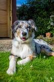 Australische herdershond in portret Royalty-vrije Stock Afbeeldingen