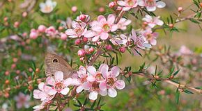 Australische het wildbloem en vlinder Stock Afbeeldingen