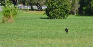 Australische Ibisvogel op groen gras in zonnige dag stock afbeeldingen