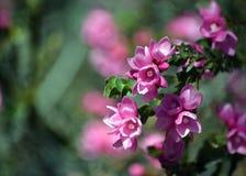 Australische Inheems nam, Boronia-serrulata roze bloemen toe royalty-vrije stock foto's