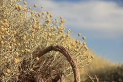 Australische inheemse bloemenstruik stock afbeelding