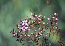 Australische inheemse Boronia-ledifoliabloemen royalty-vrije stock foto's