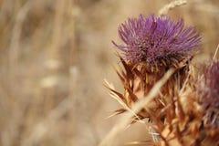 Australische inheemse doornbloemen stock foto