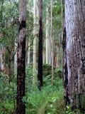 Australische Inheemse Forrest Stock Foto