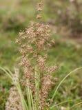 Australische inheemse multiflora Matrush van Lomandra van de grasinstallatie royalty-vrije stock foto's